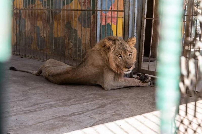 Има ли надежда за недохранените изтощени лъвове в суданския зоопарк?