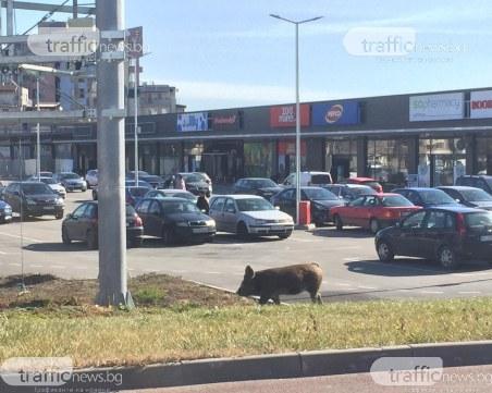 Прасе чака автобус в Кючука, похапва си кисело мляко