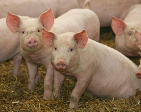 Умъртвиха 46 домашни прасета в Плевенско заради незаконно отглеждане