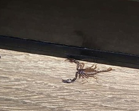 Скорпион пълзи из Пловдив