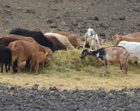 Стадо със 110 кози изчезна безследно в Пиринско
