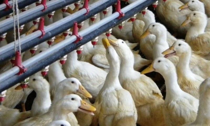 Умъртвяват 6000 патици в Раковски! Въвеждат наблюдателна зона