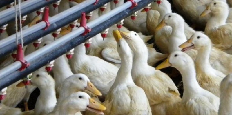 Умъртвяват птици край Пловдив, за да ликвидират огнищата на птичи грип