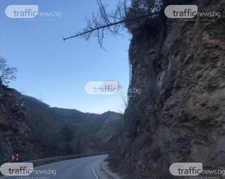 Дърво убиец надвисна страховито над пътя Пловдив - Пампорово*