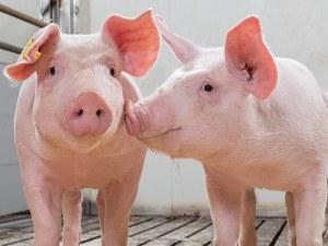 Цените на прасенцата в Китай скочиха с 600%
