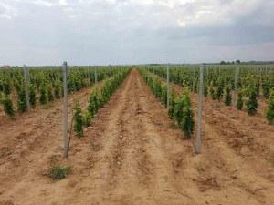 Гроздето на едно от най-добрите български вина се отглежда край Хисаря