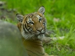 Тигър с положителна проба на COVID-19 в Ню Йорк