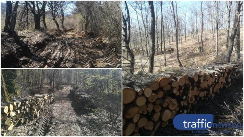 Грозно посегателство върху природата край Пловдив се оказа ... подборна сеч