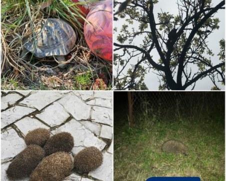 Костенурки, таралежи и катерички се разхождат по улиците на Пловдив