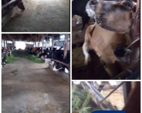 125 крави оставени на произвола на съдбата във ферма край Пловдив