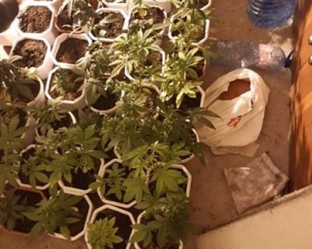 Разбиха оранжерия за марихуана, намериха 55 саксии с растения