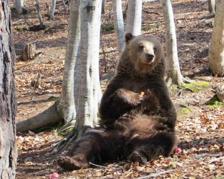 Паркът за танцуващи мечки отваря врати