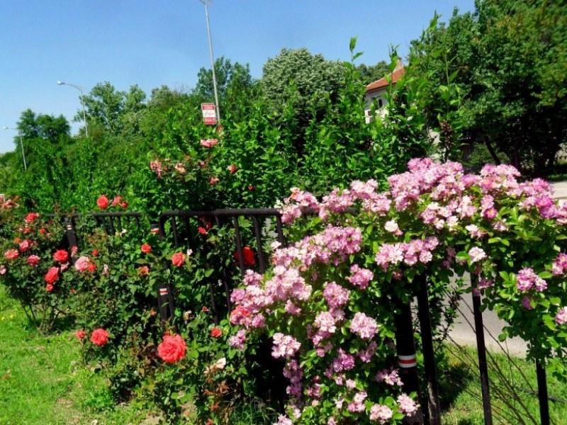 Море от рози по пловдивските булеварди