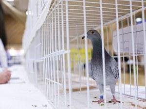 Арестуваха гълъб в Индия - бил пакистански шпионин