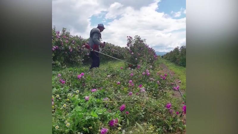 Розопроизводители унищожиха стотици растения заради неадекватна помощ от държавата