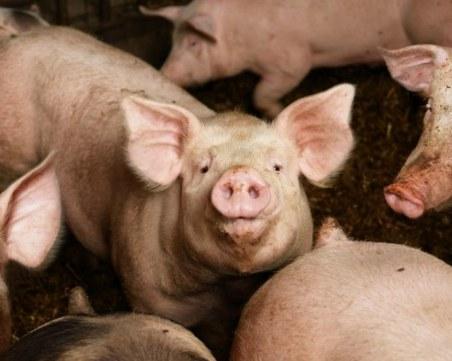 Има опасност от втора вълна на африканската чума по свинете