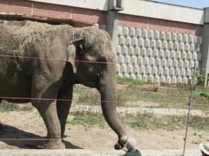 Слоницата Артайда, символ на Софийския зоопарк, става на 57 години