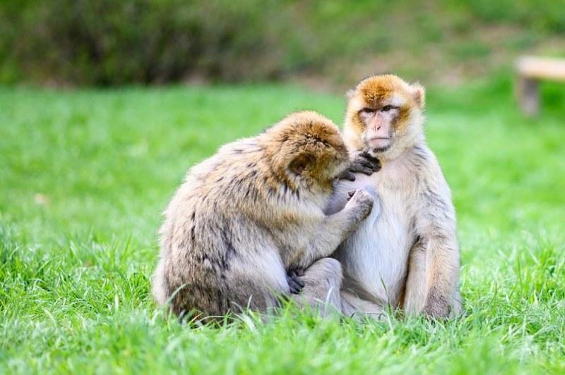 Около 70 маймуни са избягали от ограждението си в зоопарк в Япония