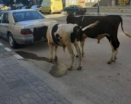 Теленца се разхождат из Асеновград