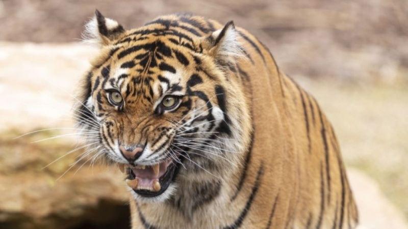 Два тигъра от защитен вид са отровени в Индонезия за по-малко от седмица