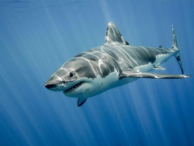 Акула уби водолаз край бреговете на Австралия