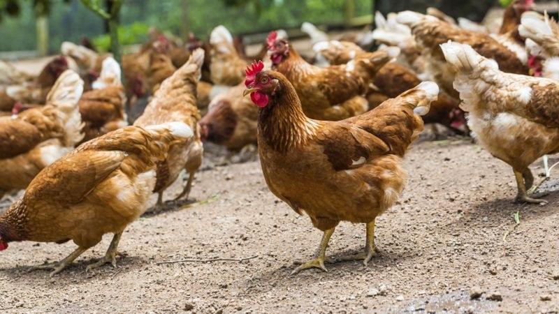 Откриха огнище на нюкясълска болест по птиците във Видинско