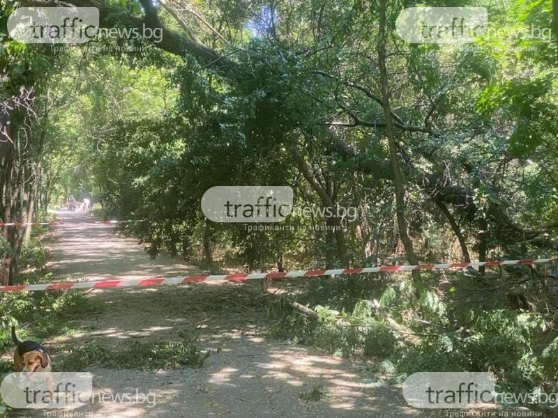 Голямо дърво падна на една от алеите в Лаута
