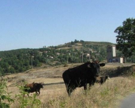 Обезщетяват Стоян, чието стадо крави загина след водопой в Марица