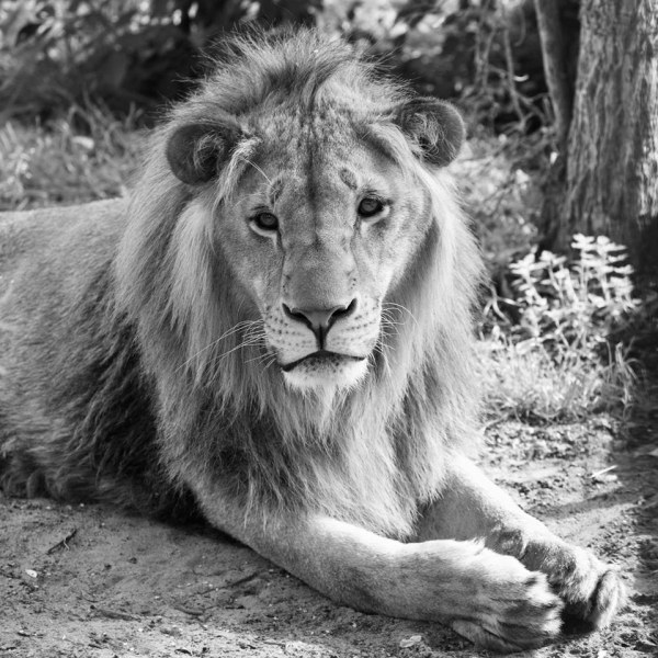 Лъвът Масуд почина в центъра в Холандия