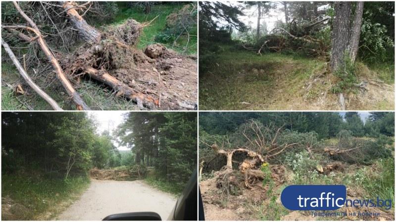 Поредно посегателство към гората - изсякоха здрави борове и елхи край Перущица