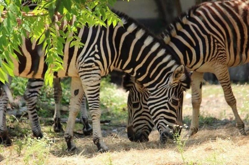 Софийският зоопарк получи стадо равнинни зебри
