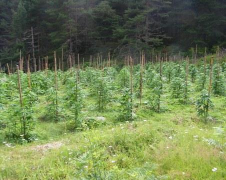 Спецакция! Откриха нива с марихуана, унищожиха 5 тона канабис