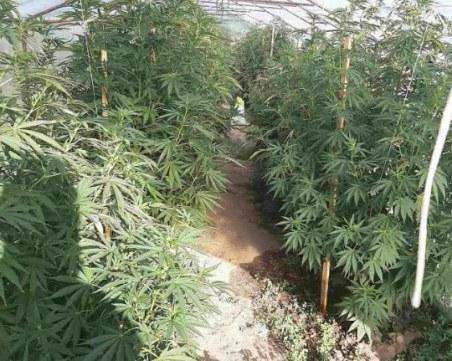 Голяма оранжерия с марихуана откриха криминалисти в местност край Пазарджик