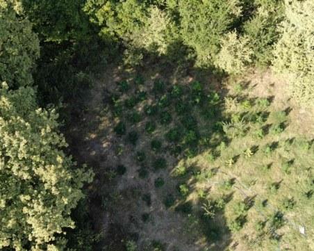 Удар на полицията край Пловдив! Откриха голяма нива с канабис, четирима са арестувани