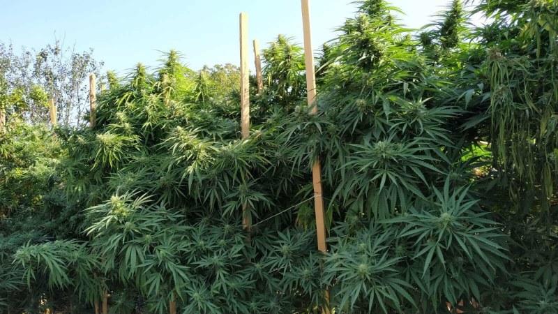 Разкриха оранжерия с марихуана в Съединение! Има арестуван