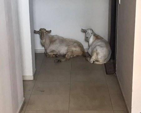 Кози се заселиха в Оазиса в Смирненски, припкат по стълбищата в комплекса