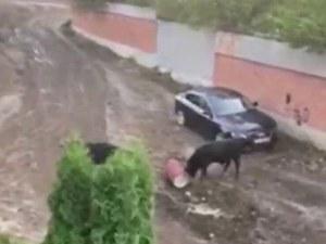 Безпризорни бикове тормозят жителите на столичен квартал
