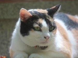 13-килограмовата котка
