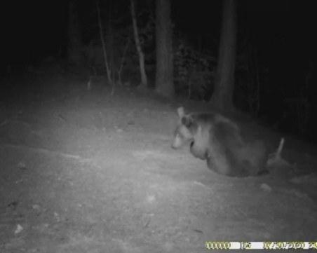Бум на нападенията от мечки в Смолянско