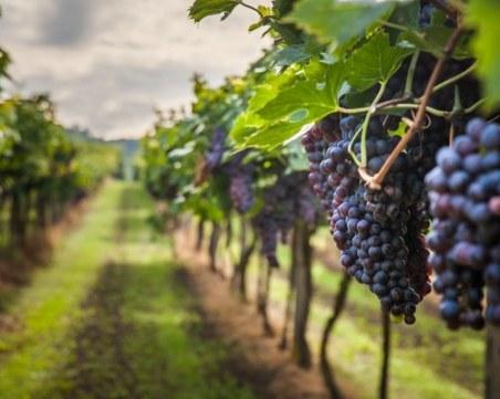 Апаш с микробус задигна 60 кила грозде от лозов масив край Пазарджик
