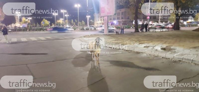 Овца се разхожда в центъра на Пловдив! Някой да си я познава?