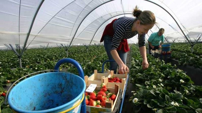 Великобритания въведе непосилни условия за сезонните работници от България и Румъния