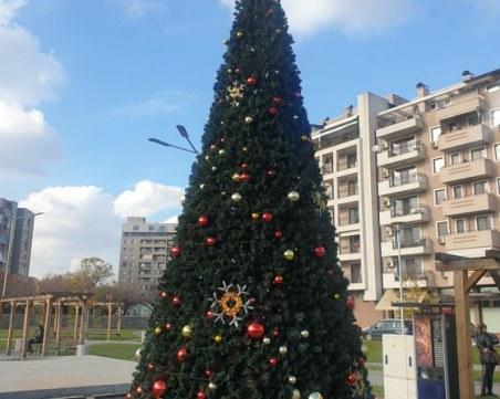 Коледното дърво в Тракия грейва утре