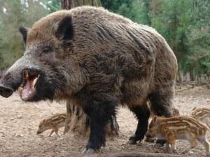 Нови 31 положителни проби на Африканска чума при свине у нас