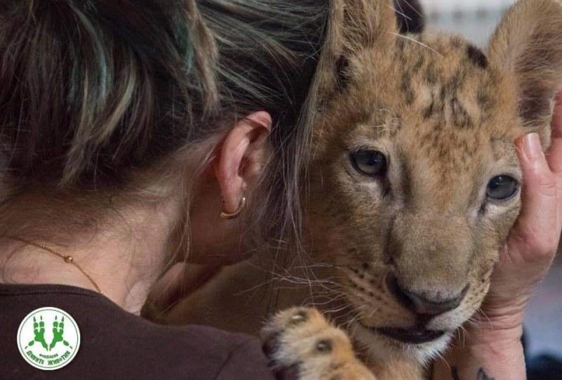 Жената, спасила лъвчетата Терез и Масуд, е в тежко състояние, близките й търсят помощ