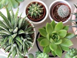 Грешките, които правим, при отглеждането на кактуси и други сукуленти