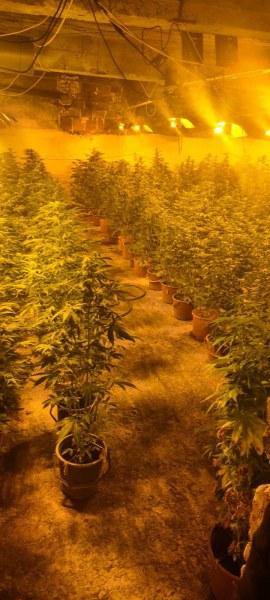 Разбиха незаконна наркооранжерия у нас! Откриха над 600 саксии с канабис