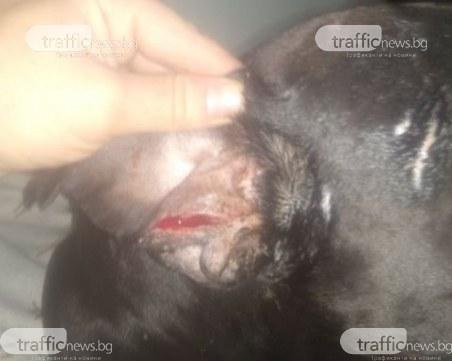 Инцидент в Кючука! Овчарка нападна пловдивчанин, разкъса ухото на кучето му