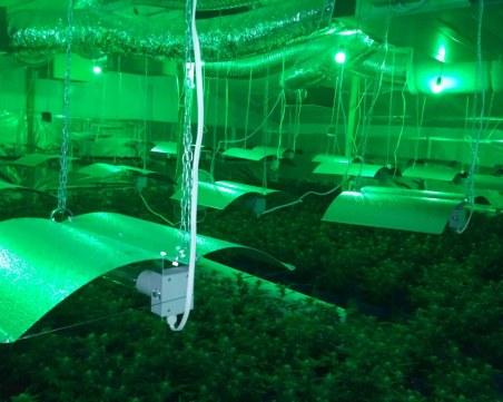 Разбиха огромна оранжерия за марихуана в Пазарджишко