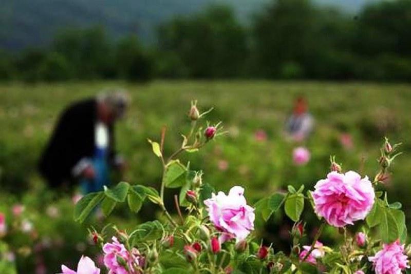 България иска финансова помощ за розопроизводството от Европейска комисия